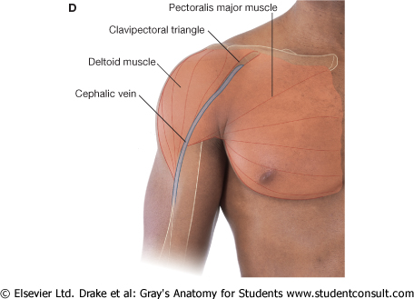 main, Cephalic Vein