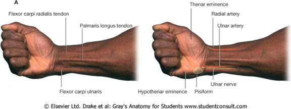 Lab 16 Forearm And Hand