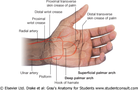 Lab 16: Forearm and Hand